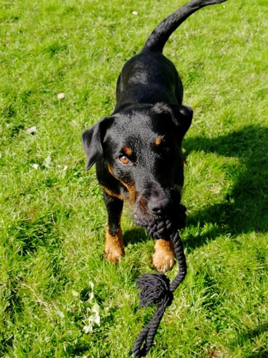 Dogman Repboll med handtag