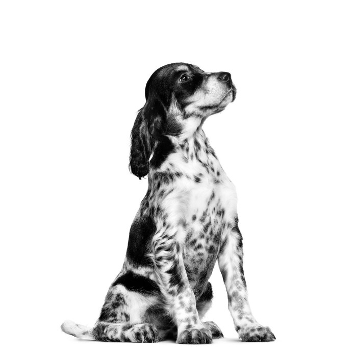 Royal Canin Medium Puppy, 10kg